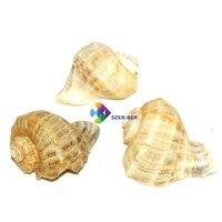 Közepes méretű csigaházak, kagylók