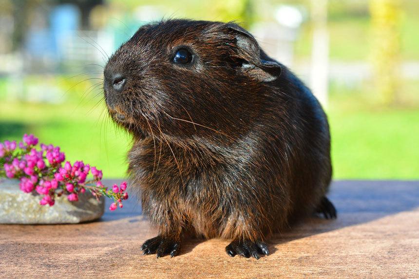 Tengerimalac (Guinea pig)