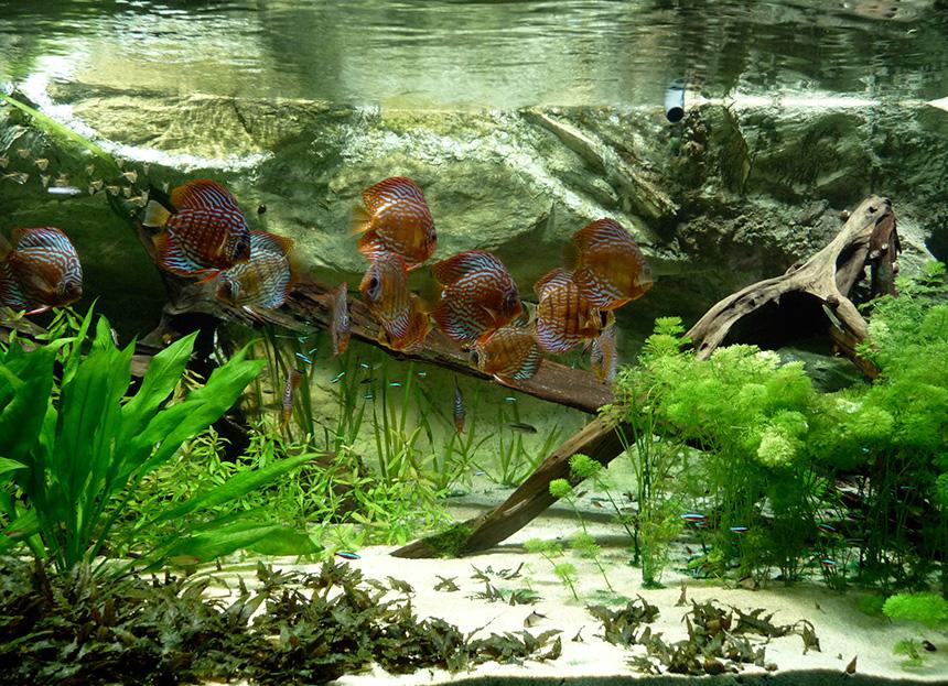 Akvárium berendezése - Fotó: Citron - Wikipédia - CC-BY-SA-3.0