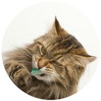 Macska száj- és foghigiénia