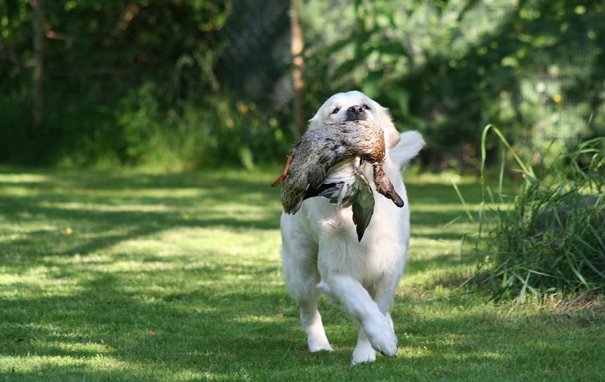 Labrador visszahozza az elejtett zsákmányt