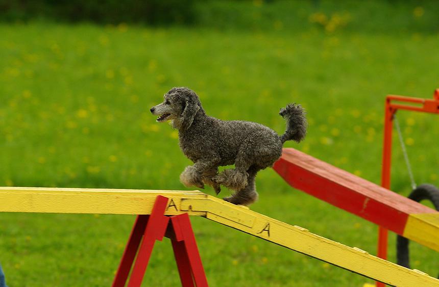 Agility - Kutya pallón megy át