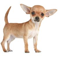 Tápok kistestű kutyáknak