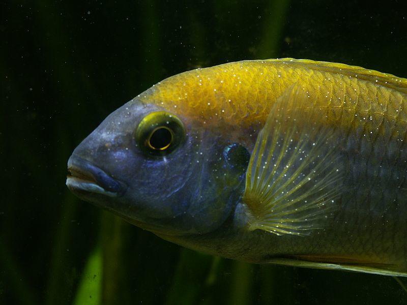 Darakórral fertőzött hal