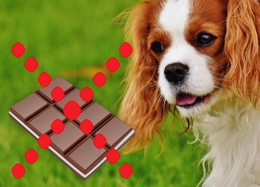 Ne adj csokoládét a kutyádnak