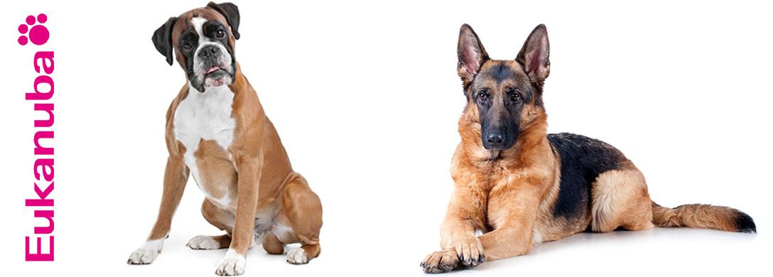Boxer és német juhászkutya