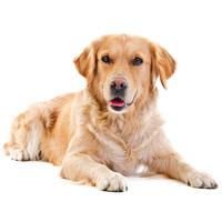 Tápok nagytestű kutyáknak