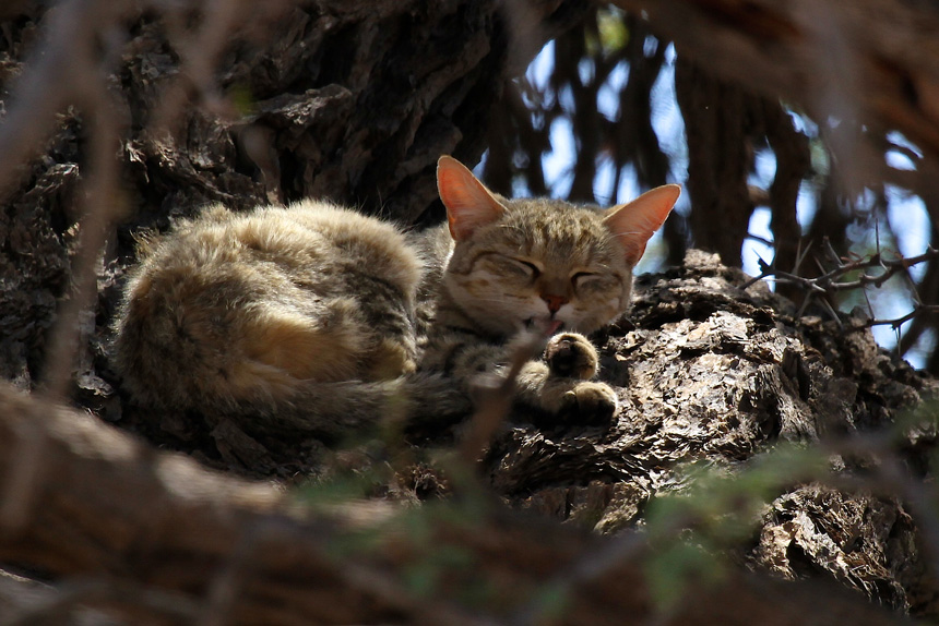 Afrikai vadmacska pihen a fán