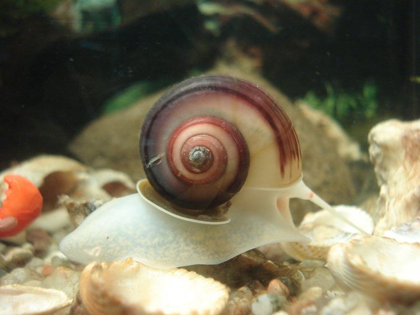Nagy tányércsiga (Planorbarius corneus) akváriumban