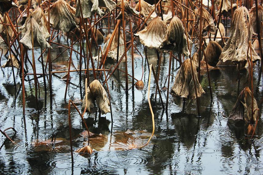 Elszáradt növények a kerti tóban
