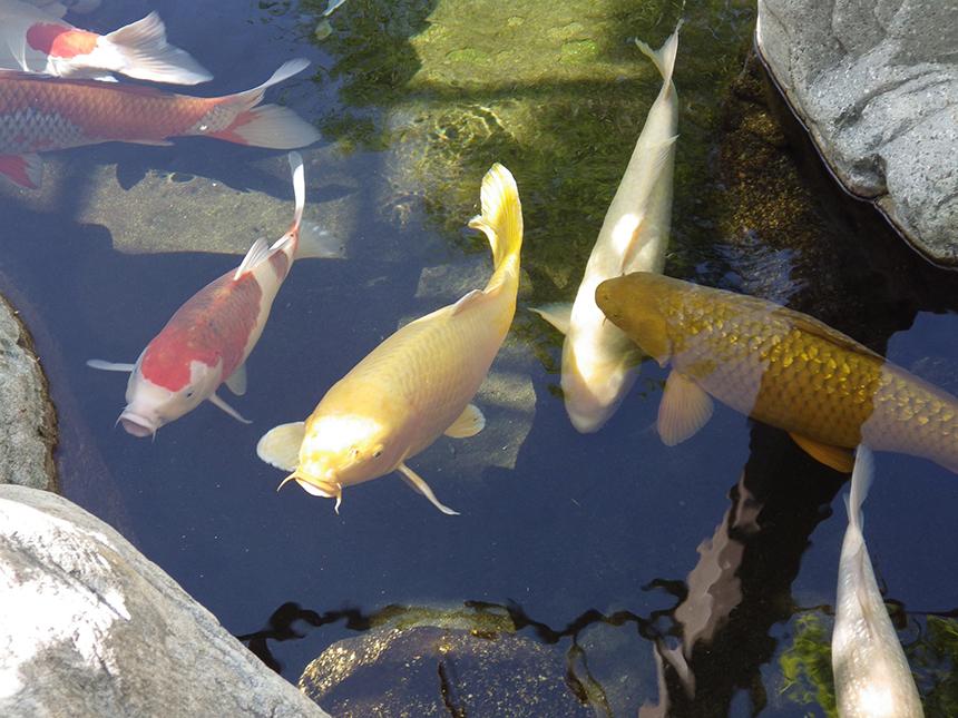 Kerti tó - Tiszta víz koi pontyokkal