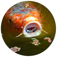 Haltáp kerti tavi halaknak