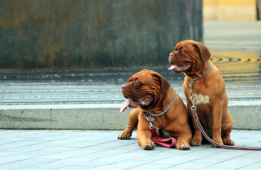 Nagytestű kölyökkutyák   Dogue de Bordeaux