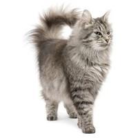 Perzsa macskáknak ajánljuk
