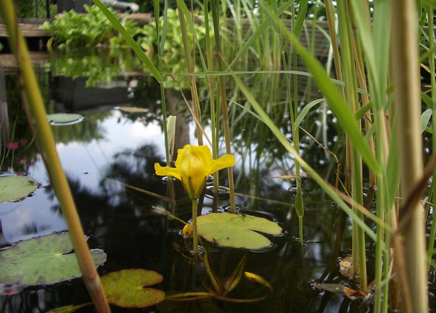 Kerti tó növényekkel