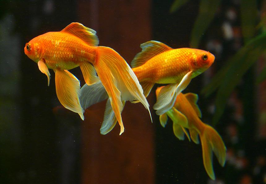 Aranyhalak úszkálnak az akváriumban