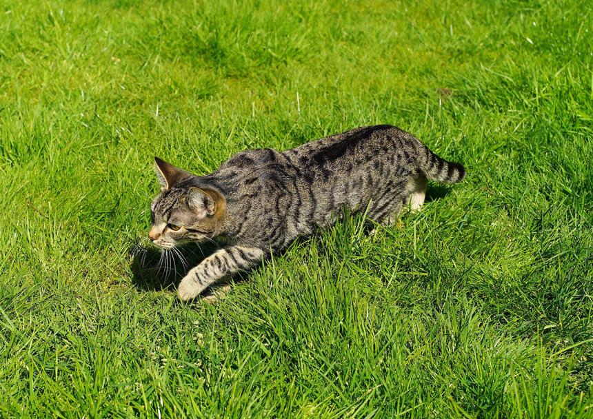 Vadászó macska a fűben lopódzik