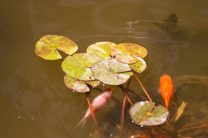 Koi pontyok a kerti tóban