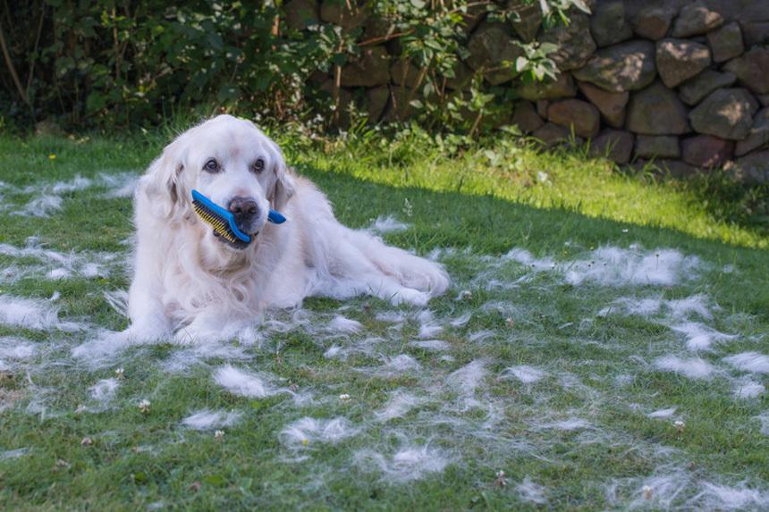 A kutyák intenzíven vedlenek tavasszal