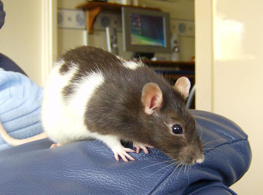 Csuklyás patkány
