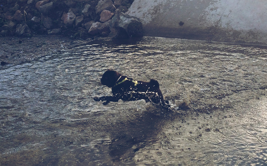 A mopszli egy igen sokoldalú kutya