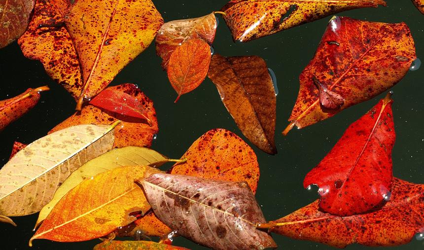 Lehullot száraz levelek ősszel a kerti tóban