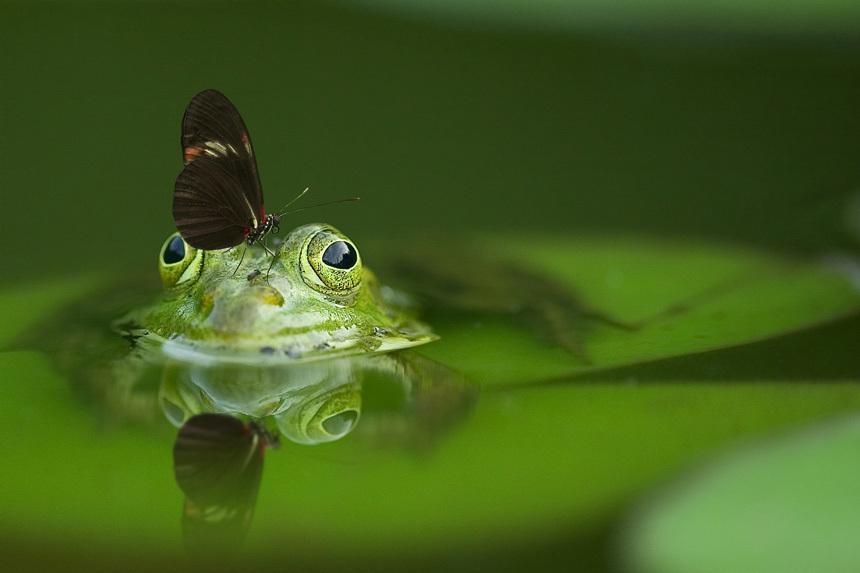 Pillangó pihen meg a vízből kikandikáló békán